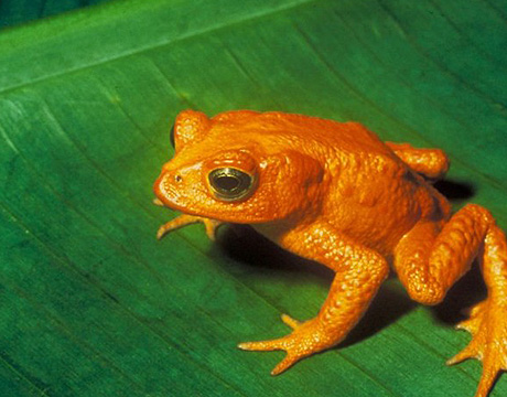 recently extinct golden toad