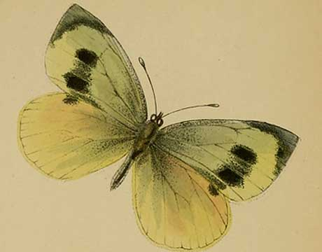 recently extinct madeiran large white butterfly