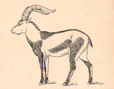 recently extinct pyrenean ibex
