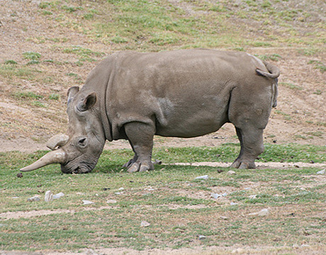recently extinct west african black rhinoceros