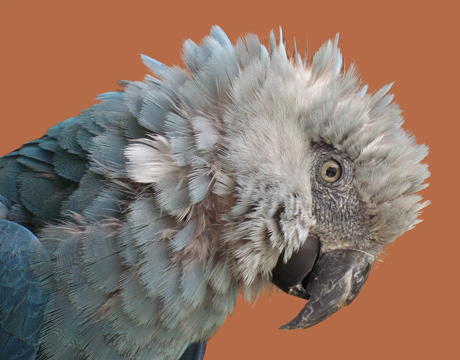 recently extinct spixs macaw
