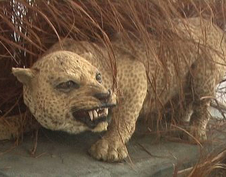 recently extinct zanzibar leopard