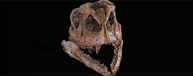 foto sin fecha distribuida por un palentólogo de la Universidad Tecnológica de Texas muestra el primer esqueleto completo de un dinosaurio que es ancestro de un saurópodo hallado en el sur de China en el 2005. Foto AP.