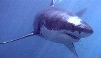 Shark. (AFP)