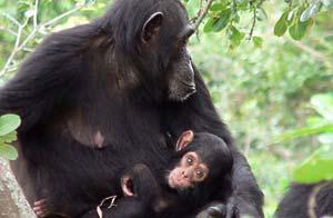 Chimpancés del Gombe National Park que están siendo estudiados por portar virus similar al HIV / AP