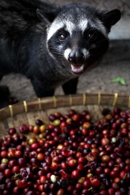 Proceso de producción del café kopi luwak en Indonesia / Foto: Ulet Ifansasti/GettyImages