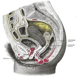 Pics Of Uterus
