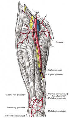 The Arteries of the Lower Extremity