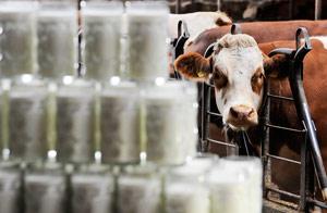 Vaca lechera / AP