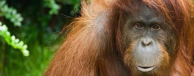 El genoma del orangután, muy parecido al del humano / Foto: Istockphoto