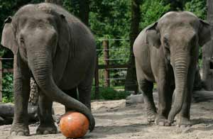 Elefantas con bola en el zoo. Foto:Getty Images