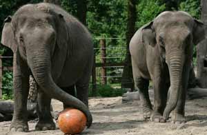 Elefantas con bola en el zoo. Foto:Getty Images