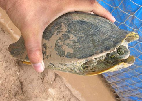 Nhập lậu hơn 500 con tôm hùm hung dữ Đổ xô phóng sinh rùa tai đỏ độc hại Vne_ruataido
