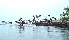 Frigate Bird Sanctuary, Codrington