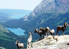 Mountain goats take in the view at Banff, Canada