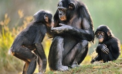 Endangered bonobos in the Congo