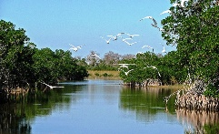 White egrets in Florida's Everglades