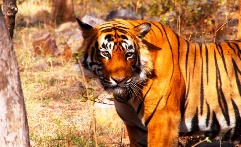 Threatened tiger in India