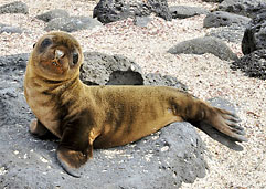 A baby seal pup in the Galápagos