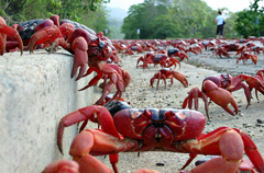 Witness A Massive Crab Migration