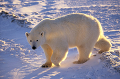 Walk With Polar Bears