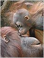 A mother orangutan and her baby enjoy the day. AP Photo.