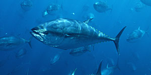 Pacific Bluefin Tuna (Thunnus thynnus) schooling, Mexico. (Richard Herrmann/Visuals Unlimited/Corbis)