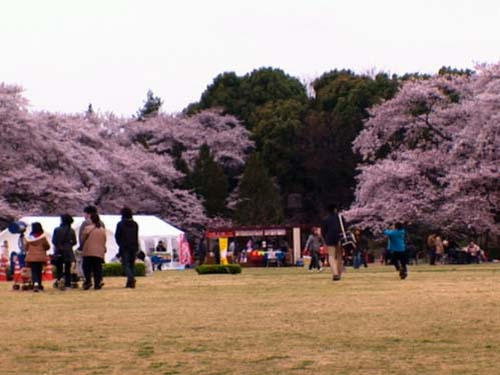 Tokyo's Cherry Blossom Festival