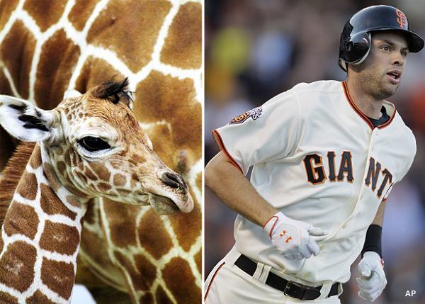 Bay Area Six Flags names baby giraffe after Giants' Brandon Belt