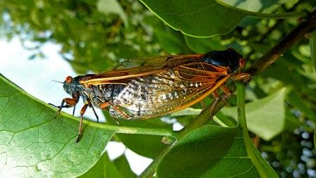 Discover the Secret of the 17-Year Cicada, But It Won t Get You Tenure