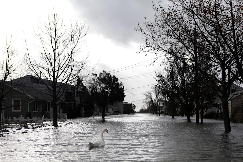 A swan makes its way down a flooded street in the aftermath of superstorm Sandy, Tuesday, Oct. 30, 2012, in Lindenhurst, N.Y. (AP Photo/Jason DeCrow)