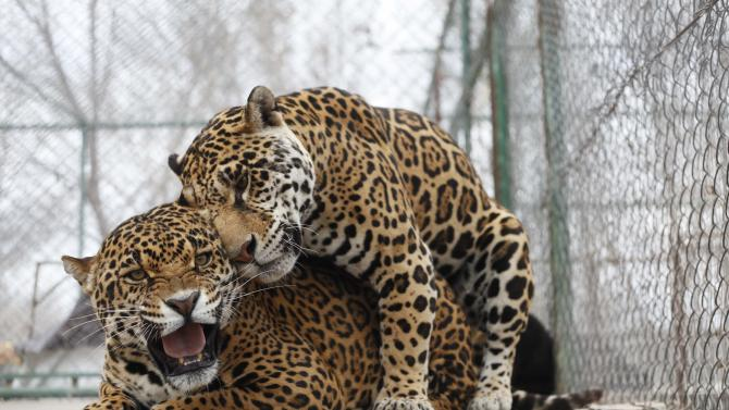 Two jaguars mate at the zoo in the Valley of Juarez