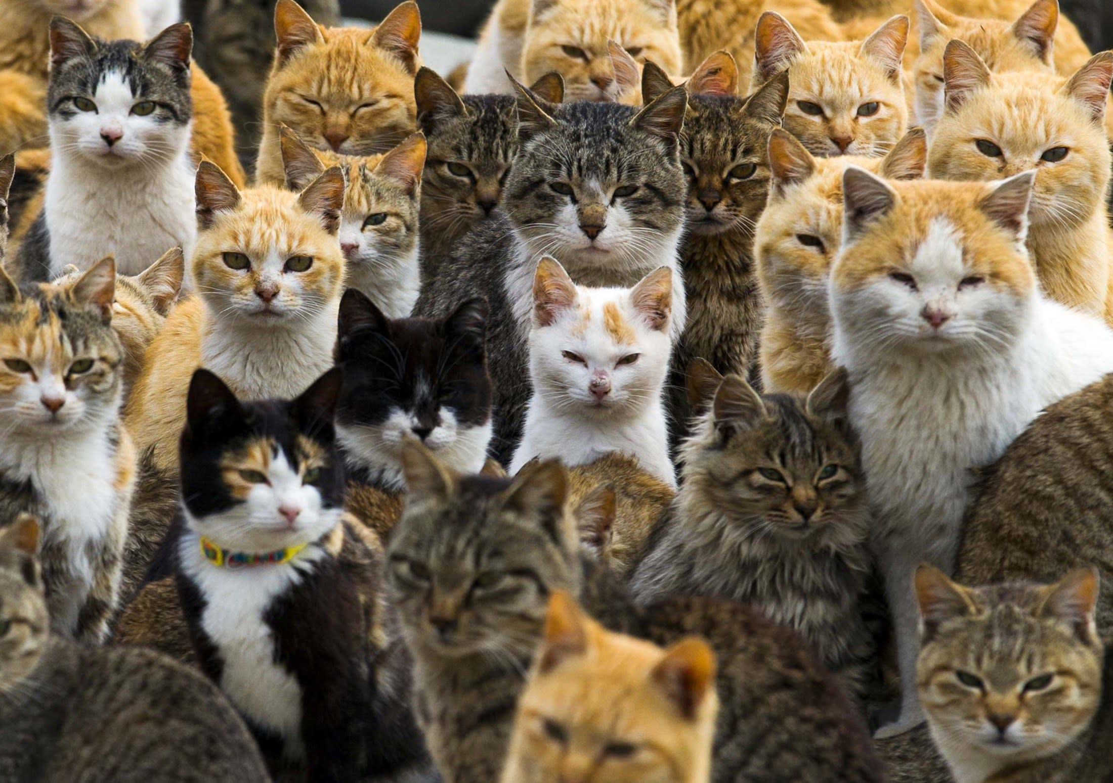 Hello kitty and kitty and lots more kitties on Japanese island where cats rule