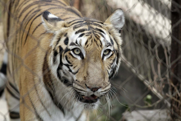 In this Friday, Jan. 10, 2014 photo, a Royal Bengal tiger walks inside its enclosure at Alipore Zoological Garden in Kolkata, India. India is scrambling to protect its beleaguered tiger population after several big cats tested positive for a virus common among dogs but deadly to other carnivores, experts said. In the last year, canine distemper virus has killed at least four tigers and several other animals across northern and eastern India, according to Rajesh Gopal of the government's National Tiger Conservation Authority. (AP Photo/Bikas Das)