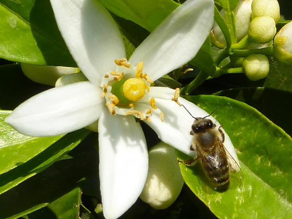 Caffeine Gives Bees a Memory Boost