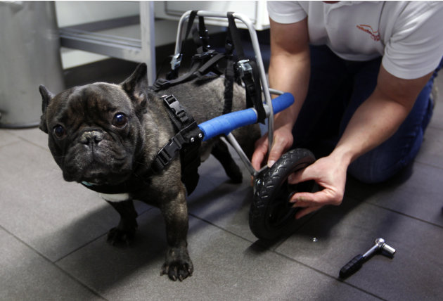 Paralyzed dog
