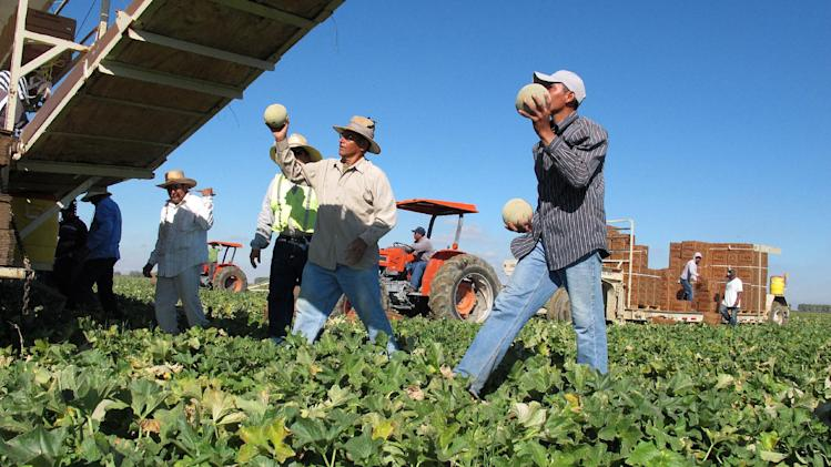 One of the few remaining crews of workers harvest and package cantaloupes near Firebaugh, Calif., on Wednesday, Oct. 12, 2011. Due to the listeria outbreak in Colorado, sales of California cantaloupes have plummeted, growers have abandoned fields and many farmworkers have lost their jobs. (AP Photo/Gosia Wozniacka)