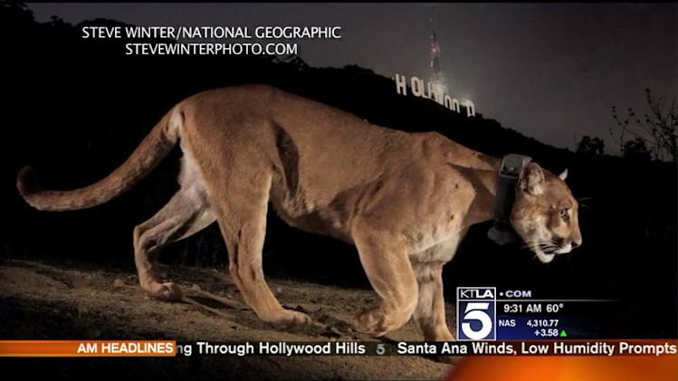 Mountain Lion Caught on Video Strolling Through Hollywood Hills