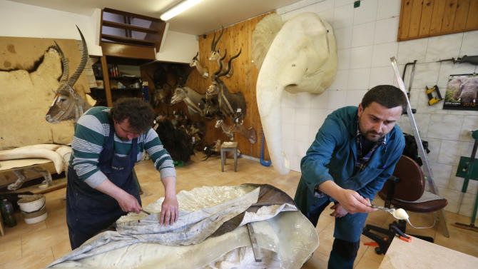 In this Tuesday, April 30,  2013 photo, taxidermists apply glue onto an elephant's ear, in Radomir Franz's taxidermy shop, in Sakvice, Czech Republic, Thursday, May 2, 2013. Franz is one of central Europe's most sought-after experts in the field _ and says he has stuffed animals from every country except, perhaps, Greenland. Franz, wearing safari-like clothing and a gold chain, says demand for his work never ceases, with orders from all over the world. He spends part of the year traveling to see animals in their natural habitat so that his work is as accurate as possible. (AP Photo/Petr David Josek)