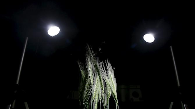 A picture shows a wheat crop being kept for scientific analyses inside a laboratory at IARI in New Delhi