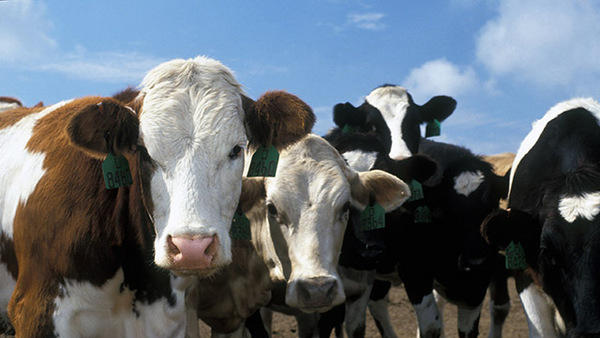 Candy Not Corn for Cows in Drought