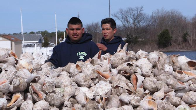 In this April 16, 2015 photo, two workers are up to their armpits in whelk shells in Berkeley Township, N.J. as part of a project by the American Littoral Society environmental group to re-establish an oyster colony in Barnegat Bay. The shells were dumped on the bay floor for oysters to attach themselves to. The colonies can help blunt the force of waves from storms like Superstorm Sandy. (AP Photo/Wayne Parry)