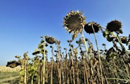 Dried sunflowers in a field in Slavonia, near the town Osijek in eastern Croatia. An unprecedented drought in the Balkans has dealt a serious blow to agriculture, causing grave losses estimated at more than a billion euros