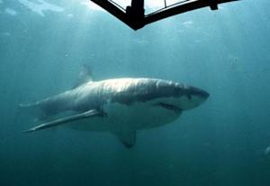 UNDATED FILE PICTURE - A Great White Shark swims past a diving cage off Gansbaai about 200 kilometre..