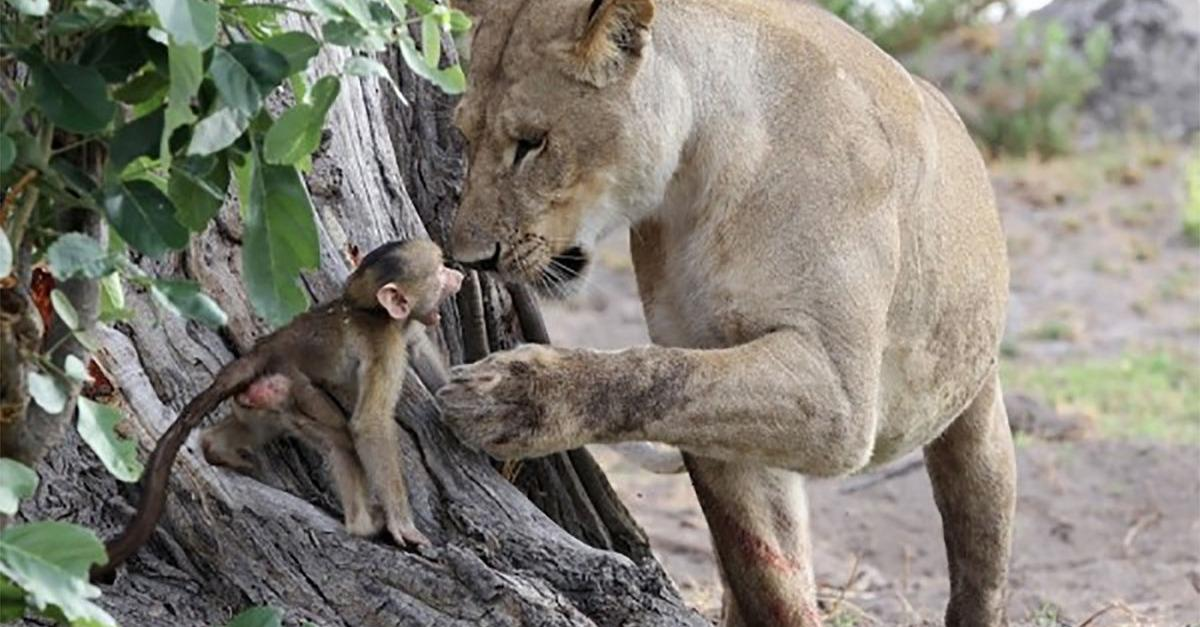 A Lioness Captures a Baby Baboon & Surprises Us!