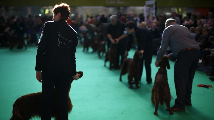 English Setters are judged during the final day of the Crufts dog show in Birmingham