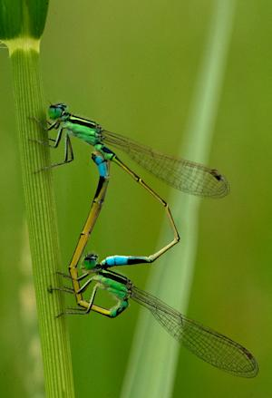 Mating damselflies are seen in a paddy field at the …