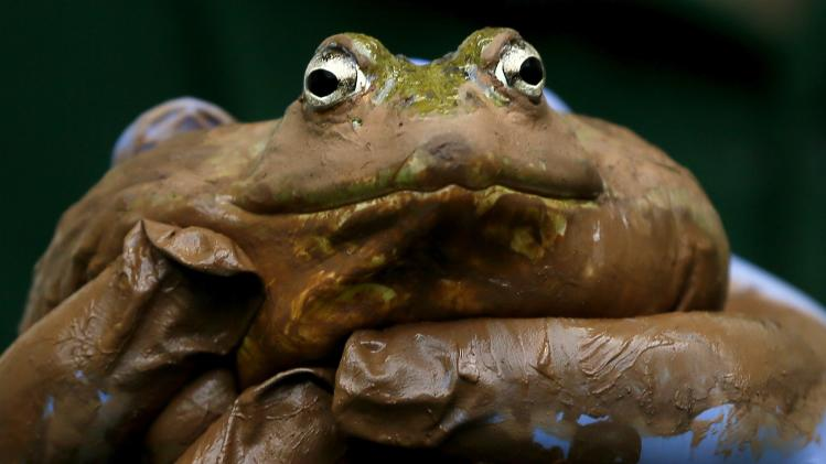 A muddy Bullfrog is inspected during a photo call for the annual stock take at London Zoo, Thursday, Jan. 3, 2013. More than 17,500 animals including birds, fish, mammals, reptiles and amphibians are counted in the annual stock take at the zoo. (AP Photo/Kirsty Wigglesworth)