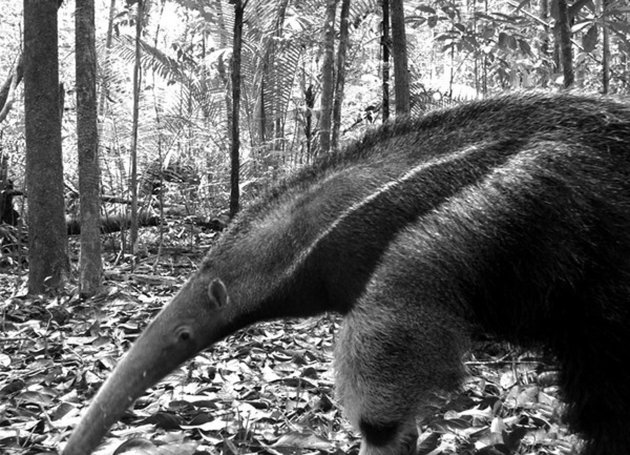 This image provided by Instituto Nacional de Pesquisas da Amazonia shows a giant anteater in Manaus, Brazil, and is one of almost 52,000 photos of 105 mammal species taken as part of the first global