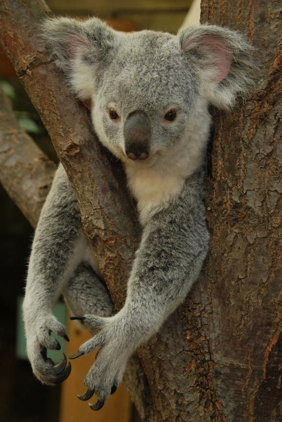 Lonely Koalas Long Ago Turned to Kin for Sex